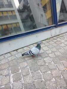 Die Rockfun24-Taube